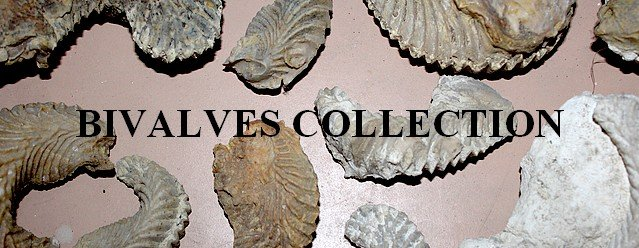 Bivalves collection